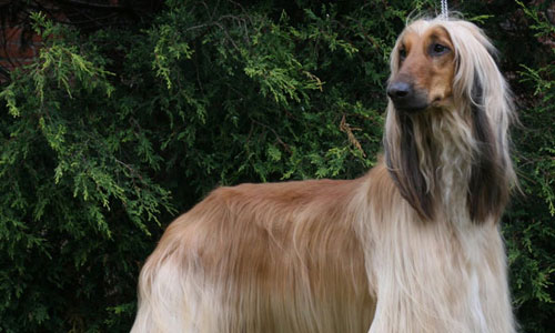 Breed Of Dog With A Long Straight Silky White Coat