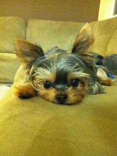 Yorkshire Terrier Cachorros Perros