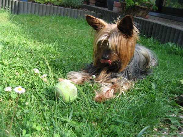 Yorkshire Terrier Adultos